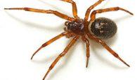 mơ con nhện