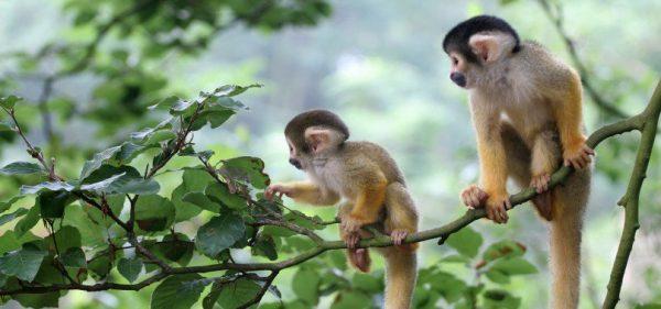 mơ con khỉ