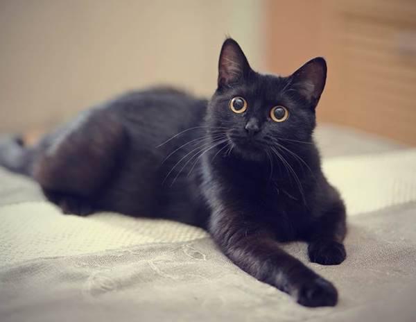 Giải mã giấc mơ thấy mèo đen là điềm gì? Đánh con số gì