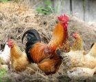 Mơ thấy đàn gà đánh con gì trúng lớn? Điềm báo gì?